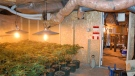 Niagara police discovered an entire basement of a home had been sub-divided into six separate rooms that were dedicated to the production of marijuana, pictured here on May 4, 2011, in Niagara falls, Ont. THE CANADIAN PRESS/ HO - Niagara Regional Police Service