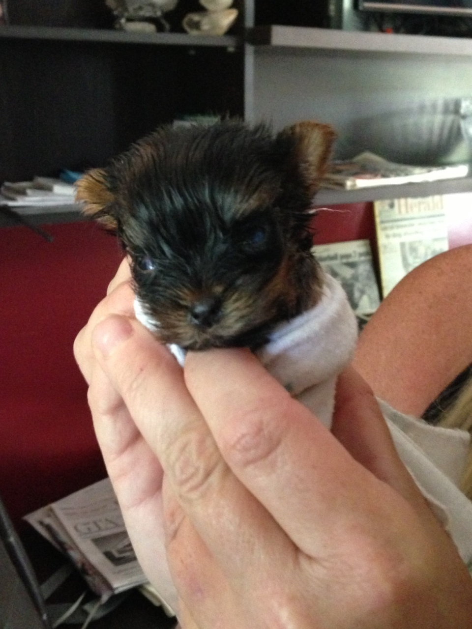 Meet Angel, a Yorkie puppy that weighs just 163 grams at five weeks. (Heather Wright / CTV Barrie)