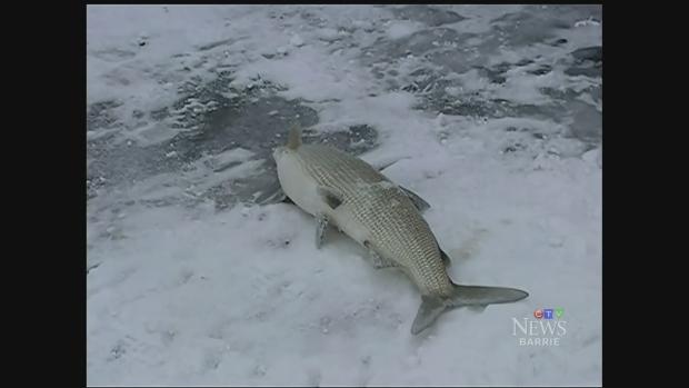 Ice fishing starts on lake simcoe ctv barrie news for Lake simcoe fishing
