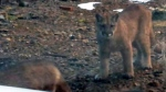 Cougar warning issued after Grouse Grind sightings