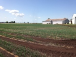 Holland Marsh, Ont. growers are concerned, as dry conditions continue on Friday, June 24, 2016. (K.C. Colby/ CTV Barrie)