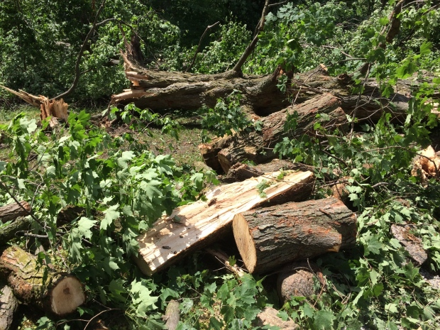 Maple trees were snapped by a downburst in King Township, Ont. on Monday, July 25, 2016. (Roger Klein/ CTV Barrie)