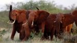 In this file photo taken Tuesday, March 9, 2010, elephants use their trunks to smell for possible danger in the Tsavo East national park, Kenya. Some African elephant herds are adapting to the danger of poaching by moving out of risky areas, according to one conservation group. Karel Prinsloo/AP)