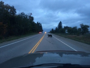 A driver captured a picture of a bear in Oro-Medonte that was hit by a vehicle Thursday morning. (Submitted by OPP)